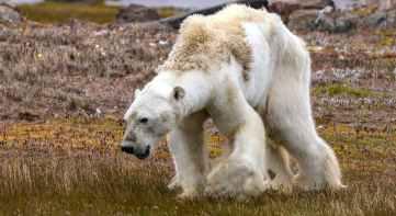 Article - Starving Polar Bear Photographer Explains